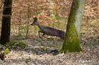 Reh in freier Wildbahn (Wald)