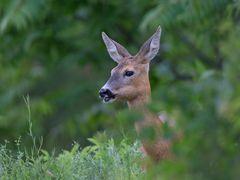 Reh /Roe deer
