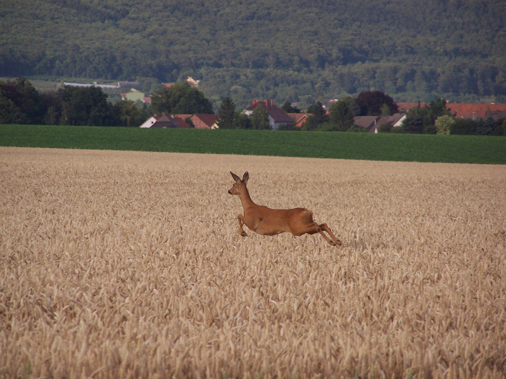 Reh über dem Weizenfeld