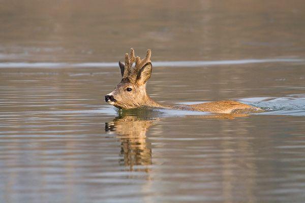 Rehbock beim Wassersport