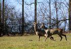 Rehbock mit Dame beim Spaziergang