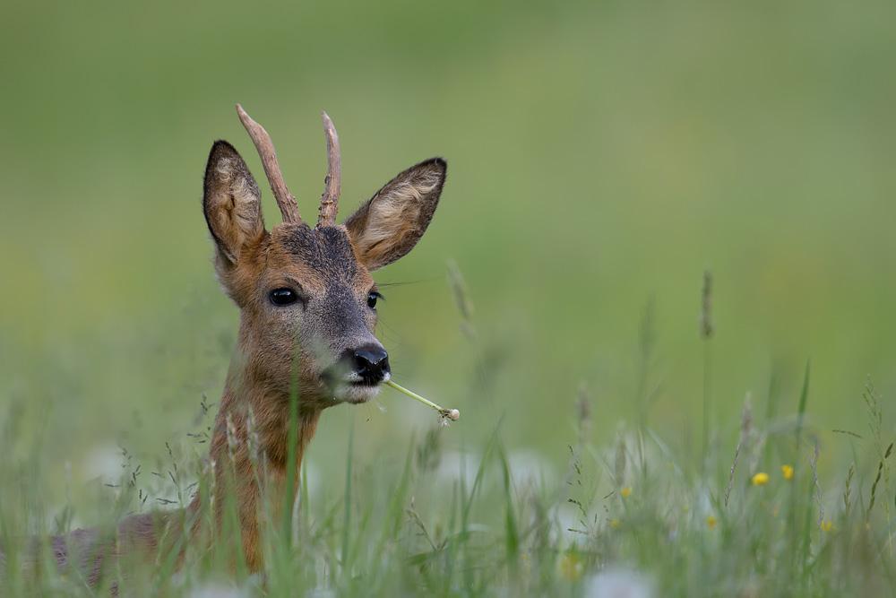 Rehböckli im hohen Gras