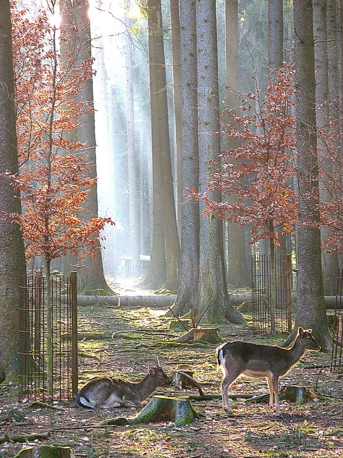 Rehe im Wald am Abend