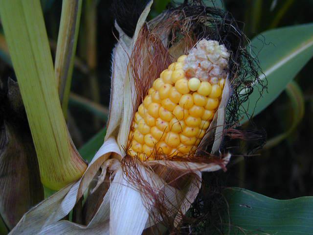 reif für die Ernte
