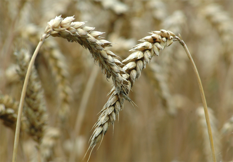 Reif für die Ernte - Weizen-Ähren -