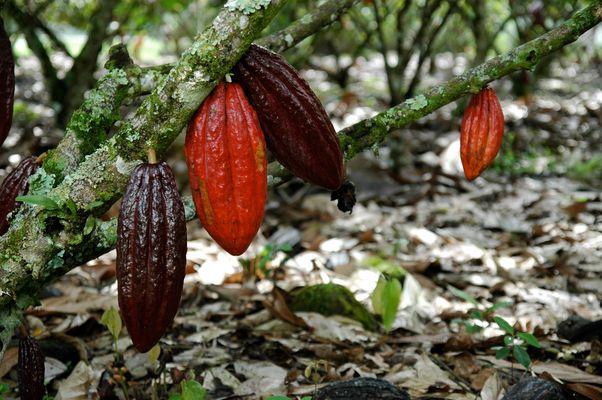 reife Kakaofrüchte