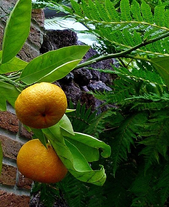 Reife Mandarinen . . . .