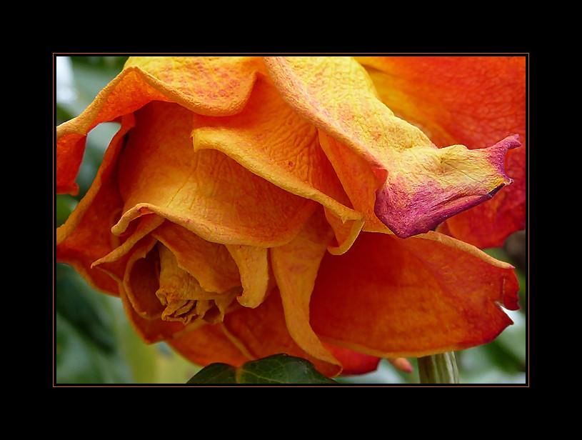 reife rose