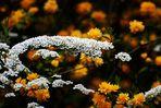 Reigen in weiß und gelb
