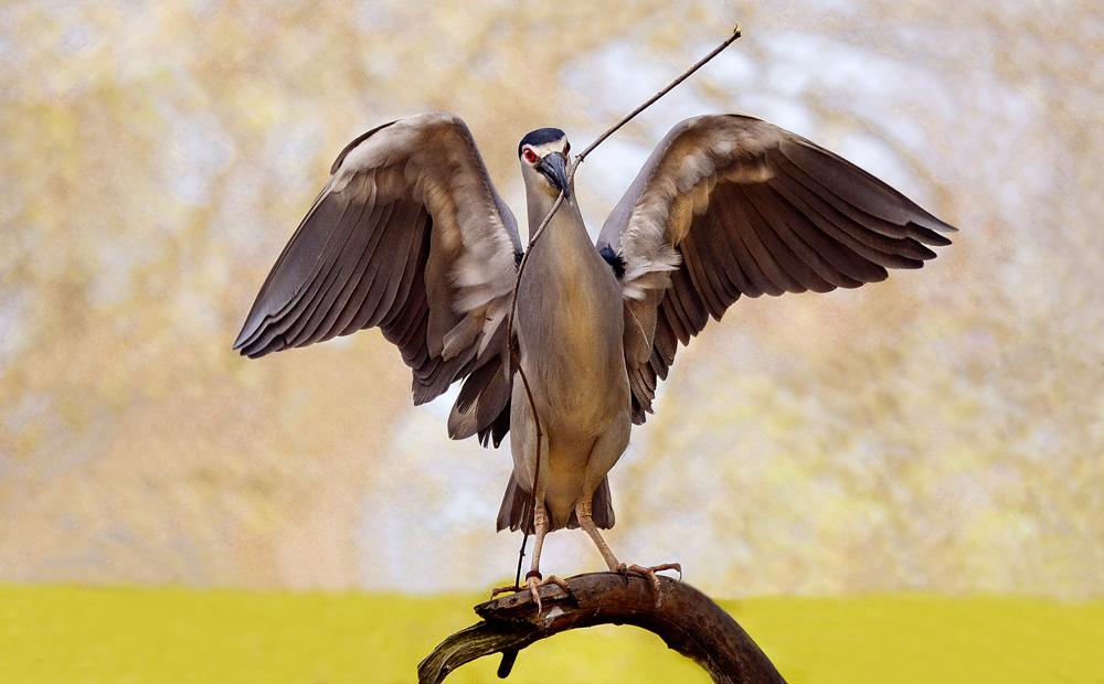 Reiher beim Nestbau