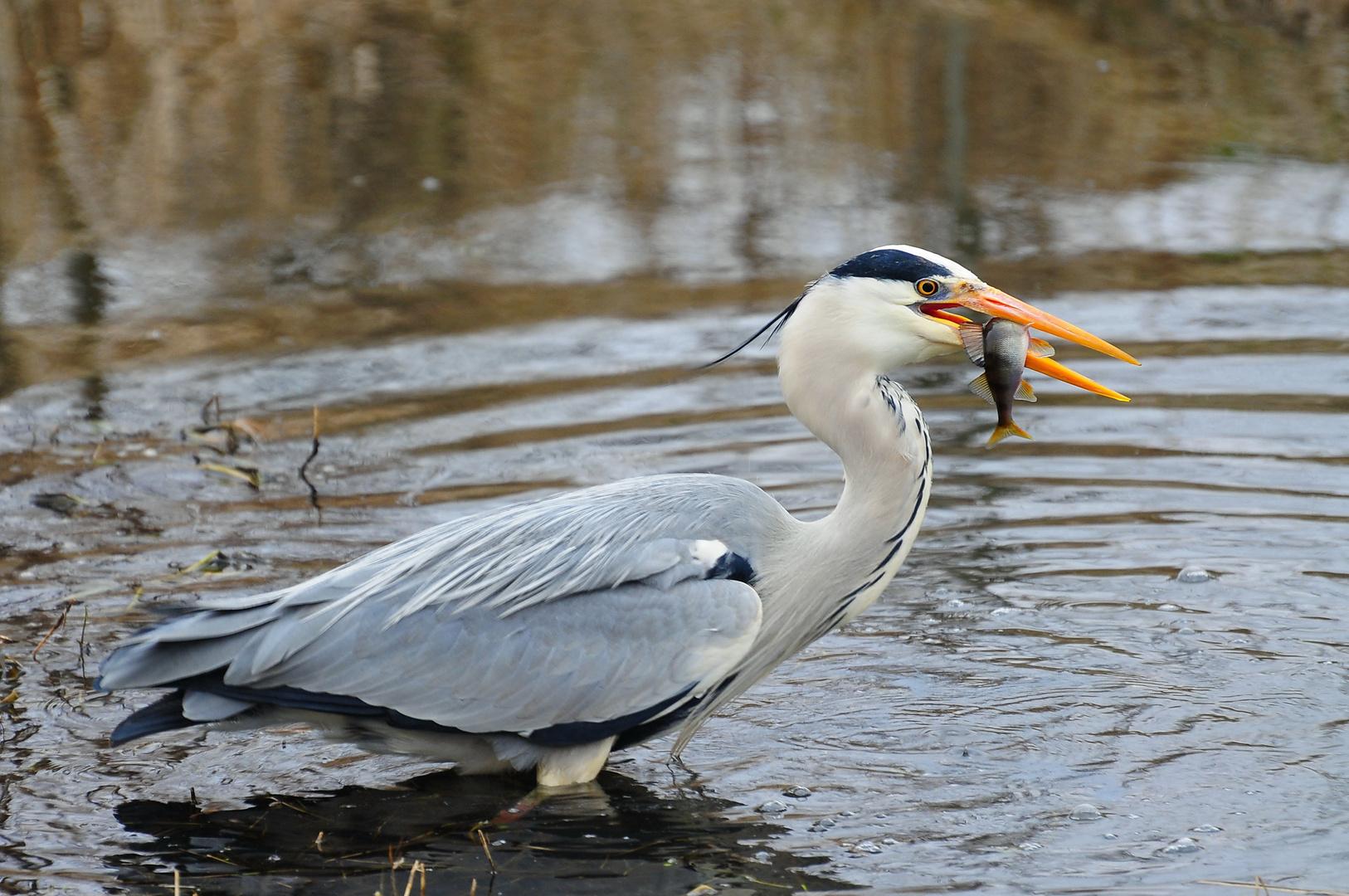 Reiher fängt Fisch