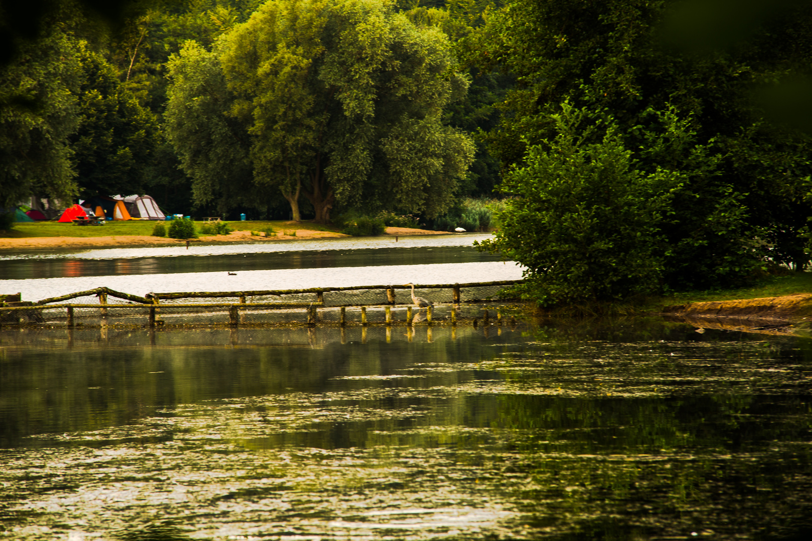 Reiher im See