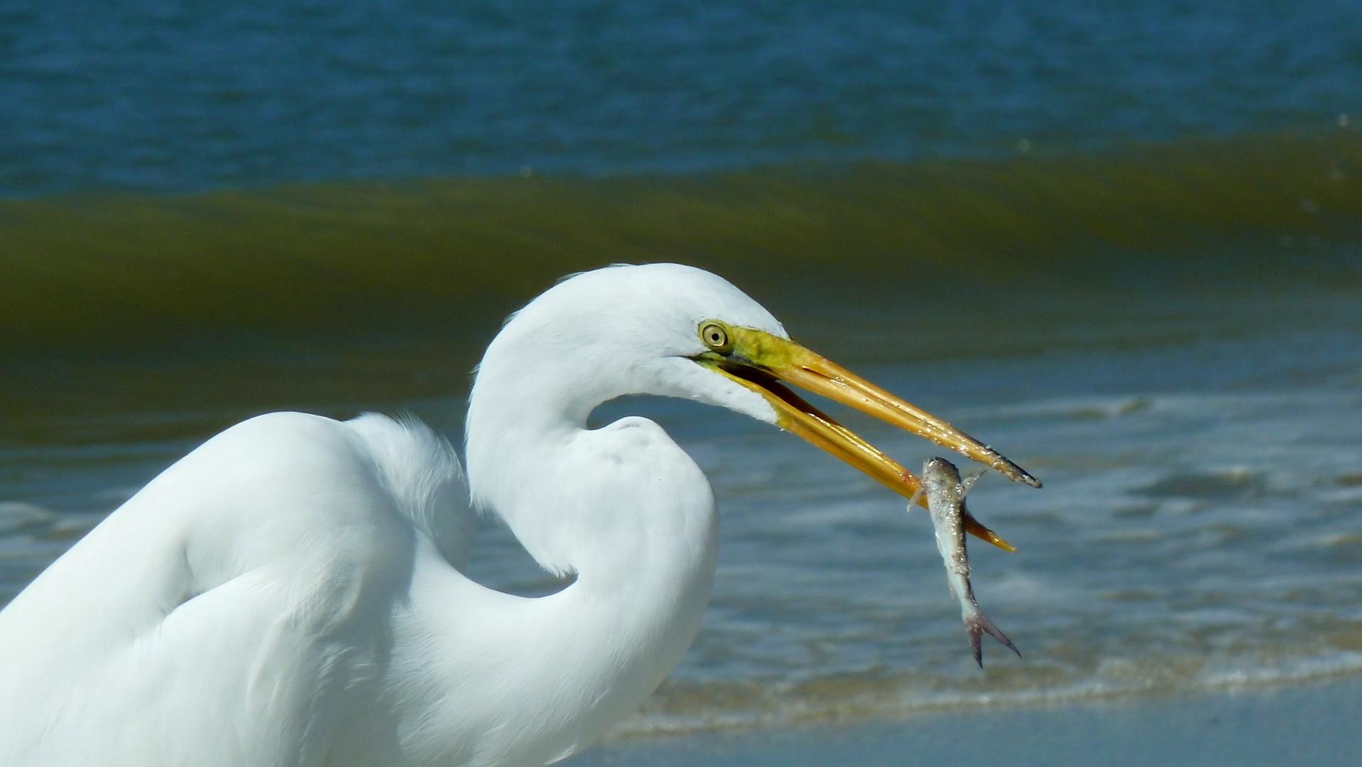 Reiher mit Beute, Florida
