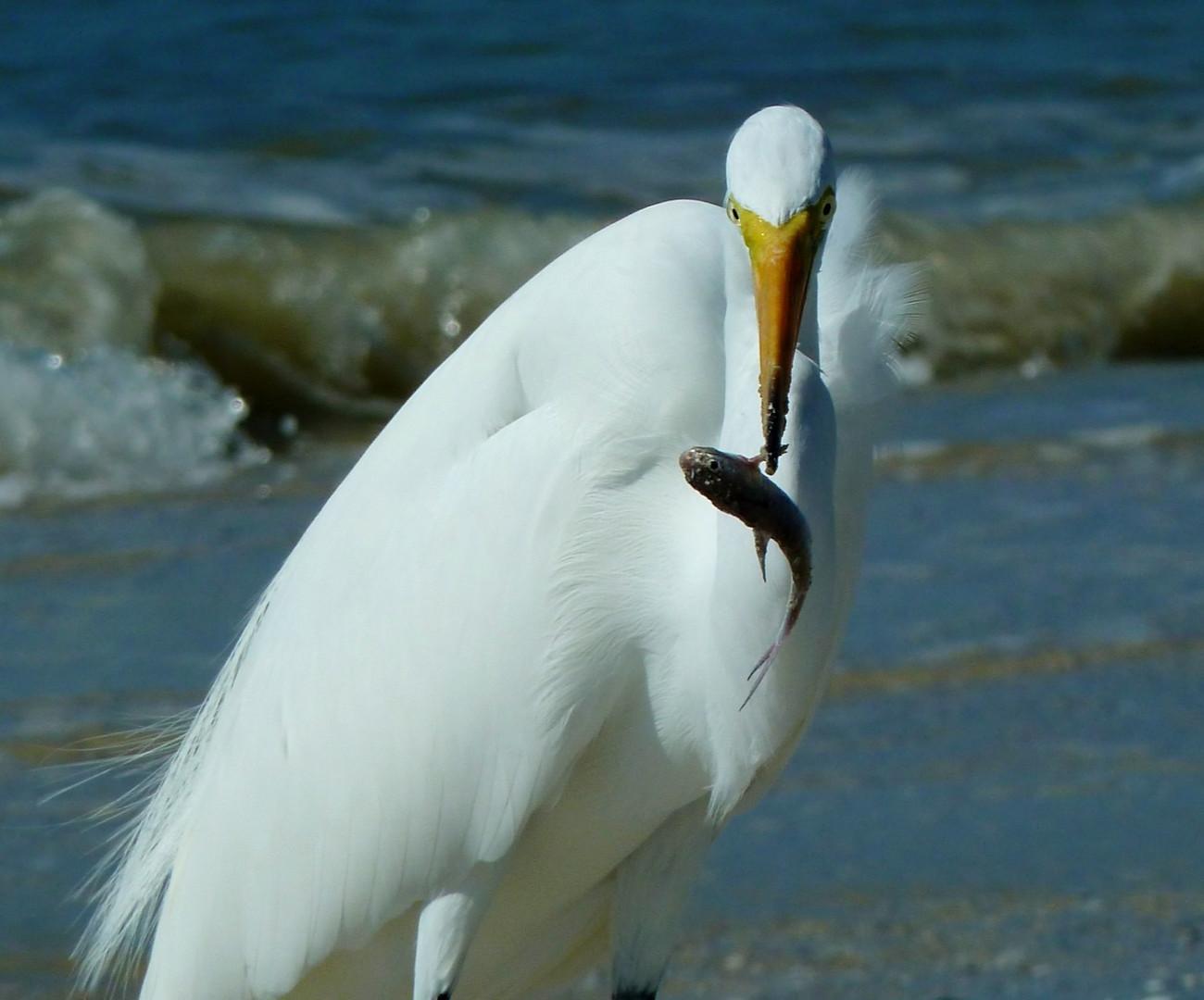 Reiher mit Fisch, Ft. Myers, Florida