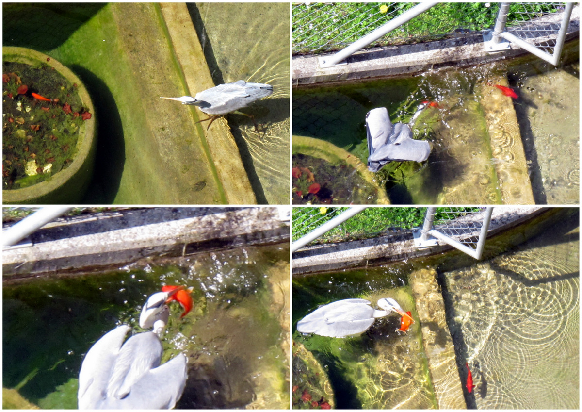 Reiher und Fisch