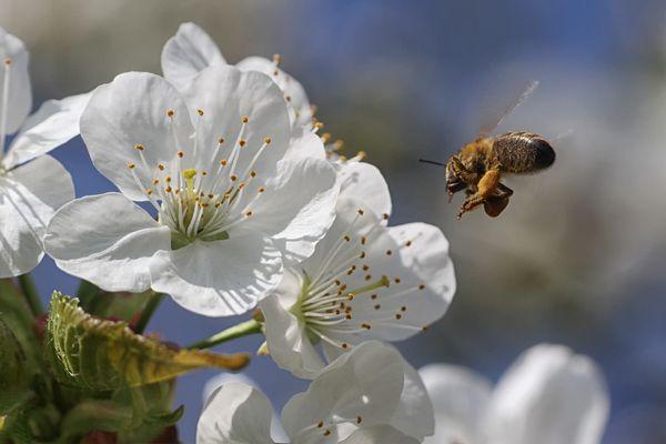 rein in die Kirschblüte