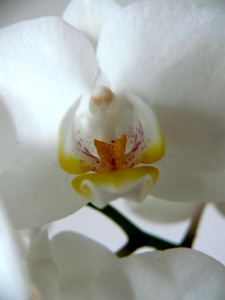 Reine Orchidee