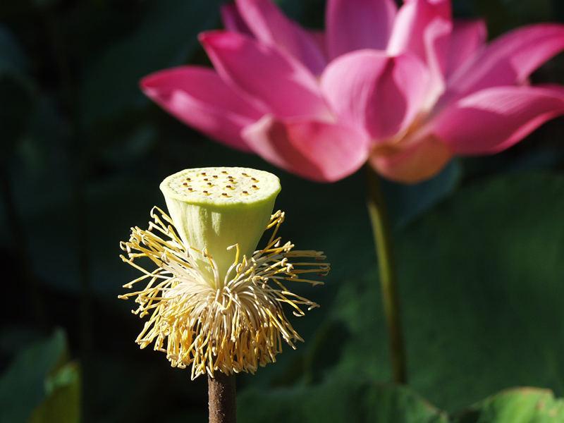 Reinheit, Weisheit und Schönheit - Die Lotusblüte