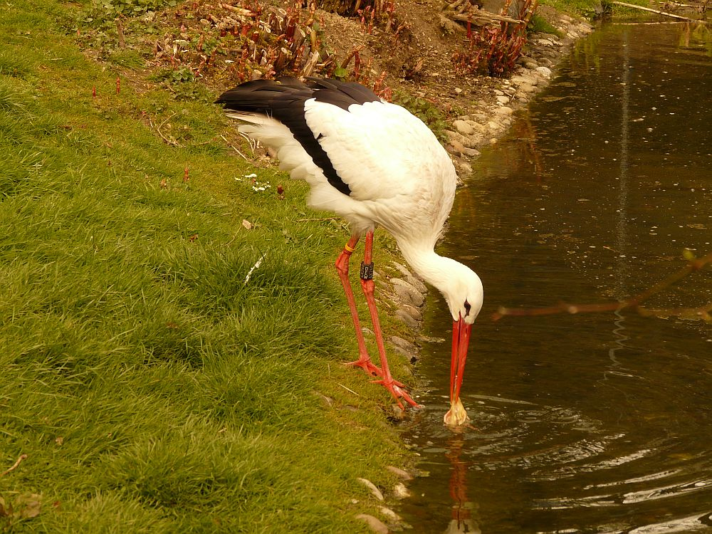Reinlicher Storch