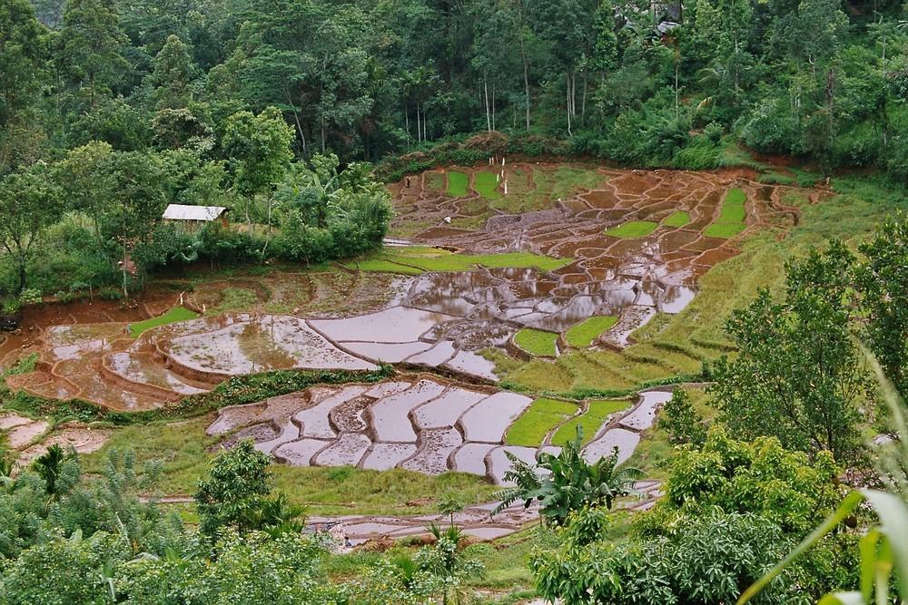 Reis-Terrasse Sri Lanka
