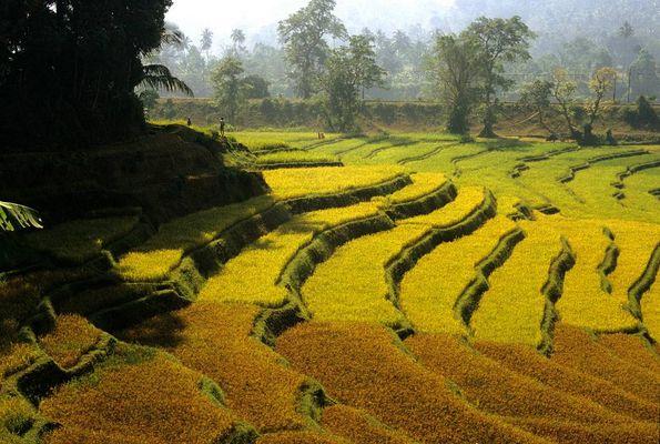 Reisanbau in Indien