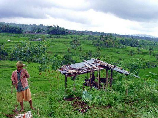 Reisbauer in Bali