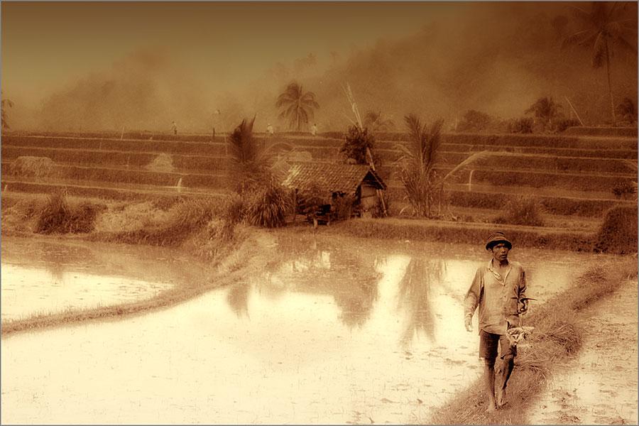 Reisbauer vor seinen Feldern.
