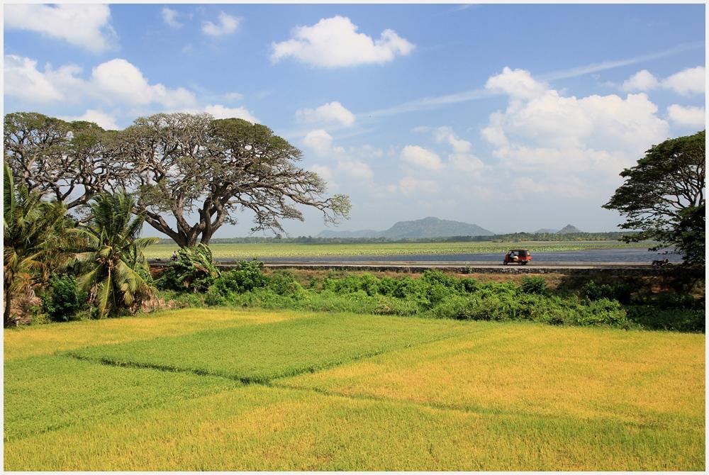 Reisen im Reisfeld
