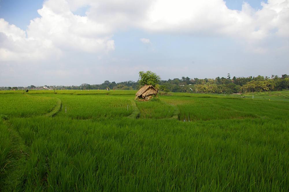 Reisfeld auf Bali