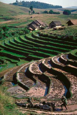 Reisfeld auf Madagaskar
