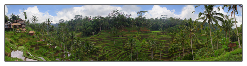 Reisfeld (Bali 09)