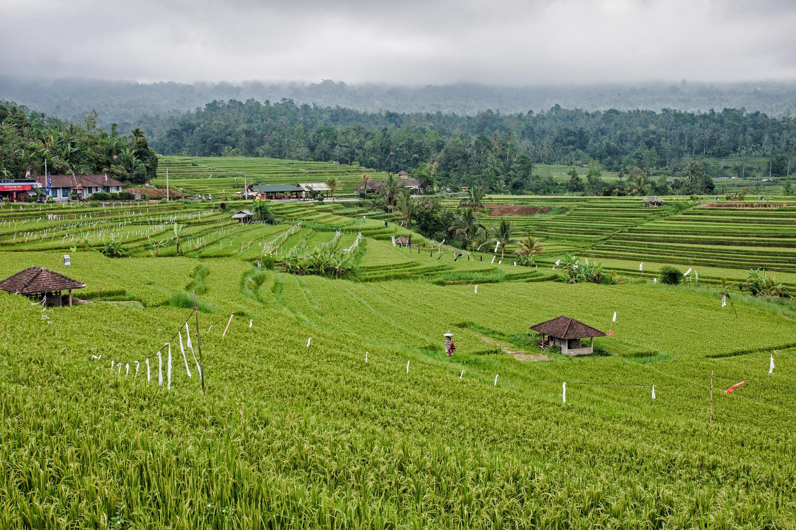 Reisfeld in Bali 1