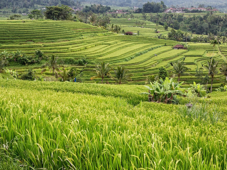 Reisfeld in Bali 2