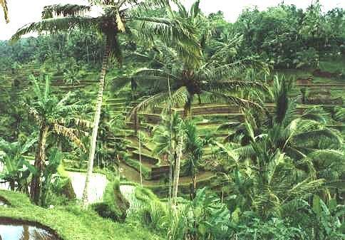 Reisfeld unter Palmen