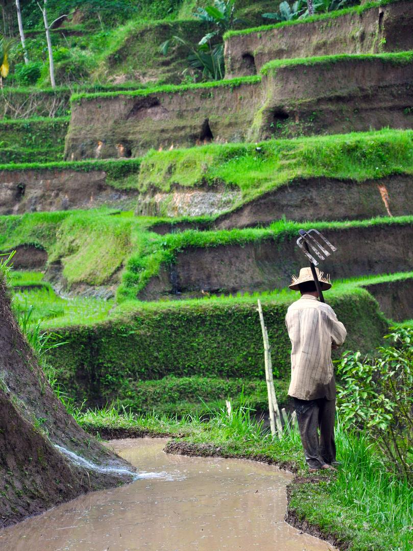 Reisfeldarbeiter Bali