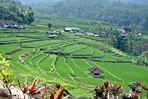 Reisfelder....