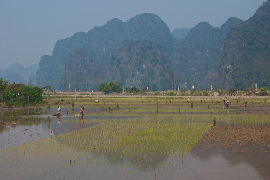 Reisfelder in der trockenen Ha Long Bucht (1)