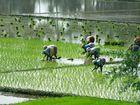 Reisfelder in Süden Indiens