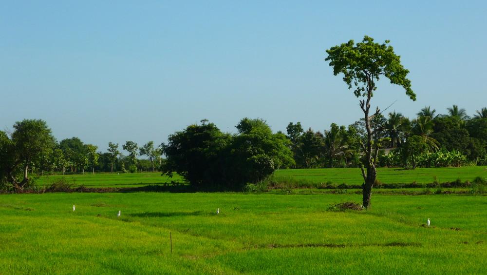 Reisfelder - Sri Lanka