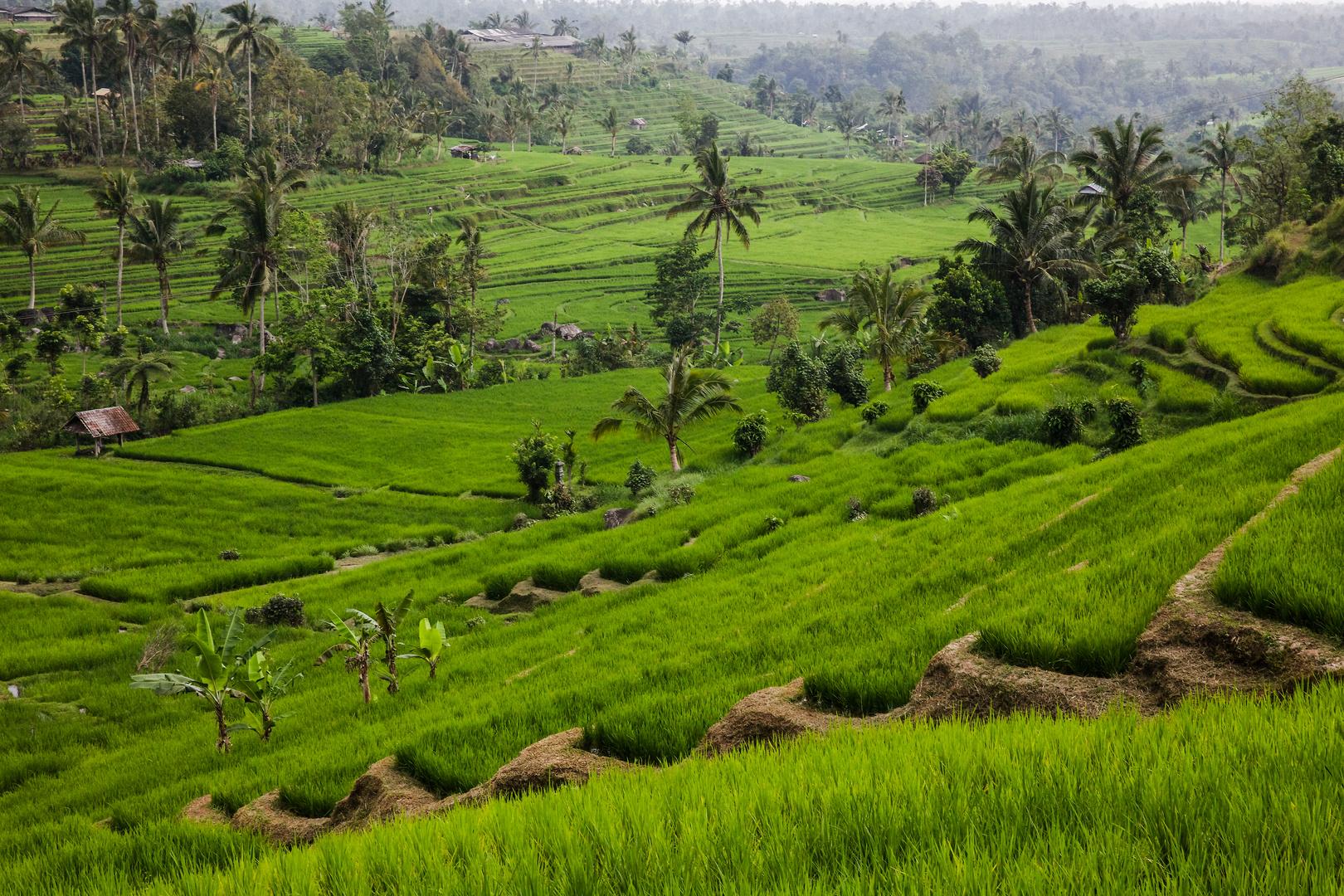 Reisfelder von Bali