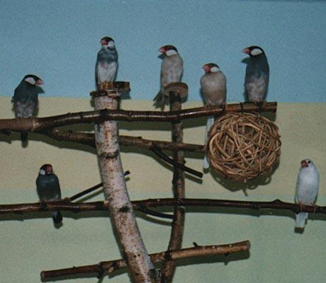 Reisfinken