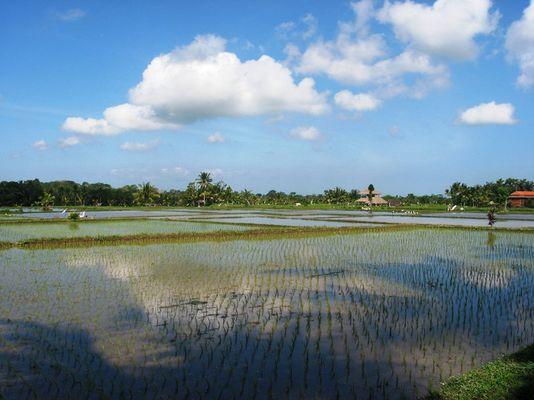 Reisplantage