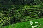 Reisterassen - Bali