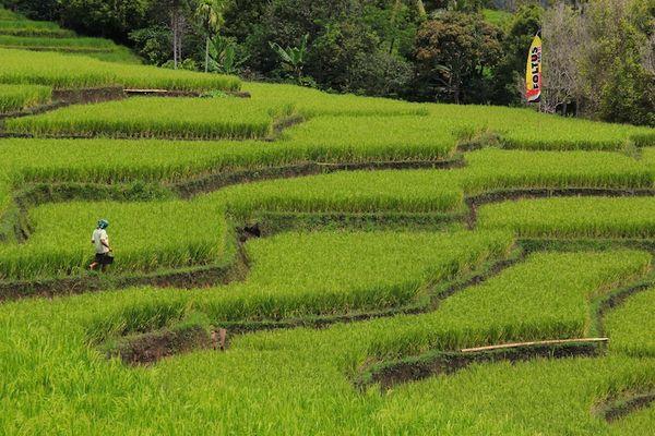 Reisterrasen auf Flores