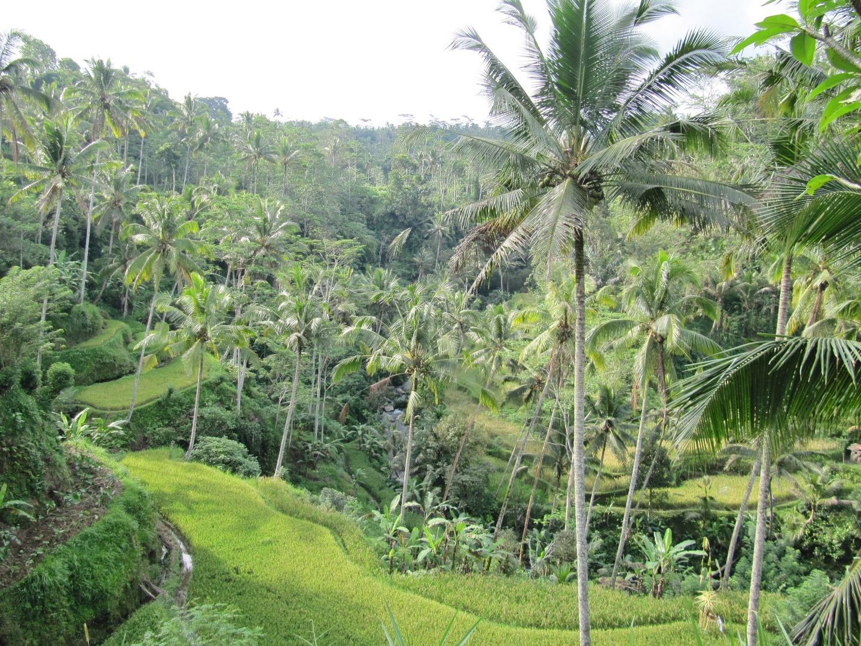 Reisterrasse am Königspalast auf Bali