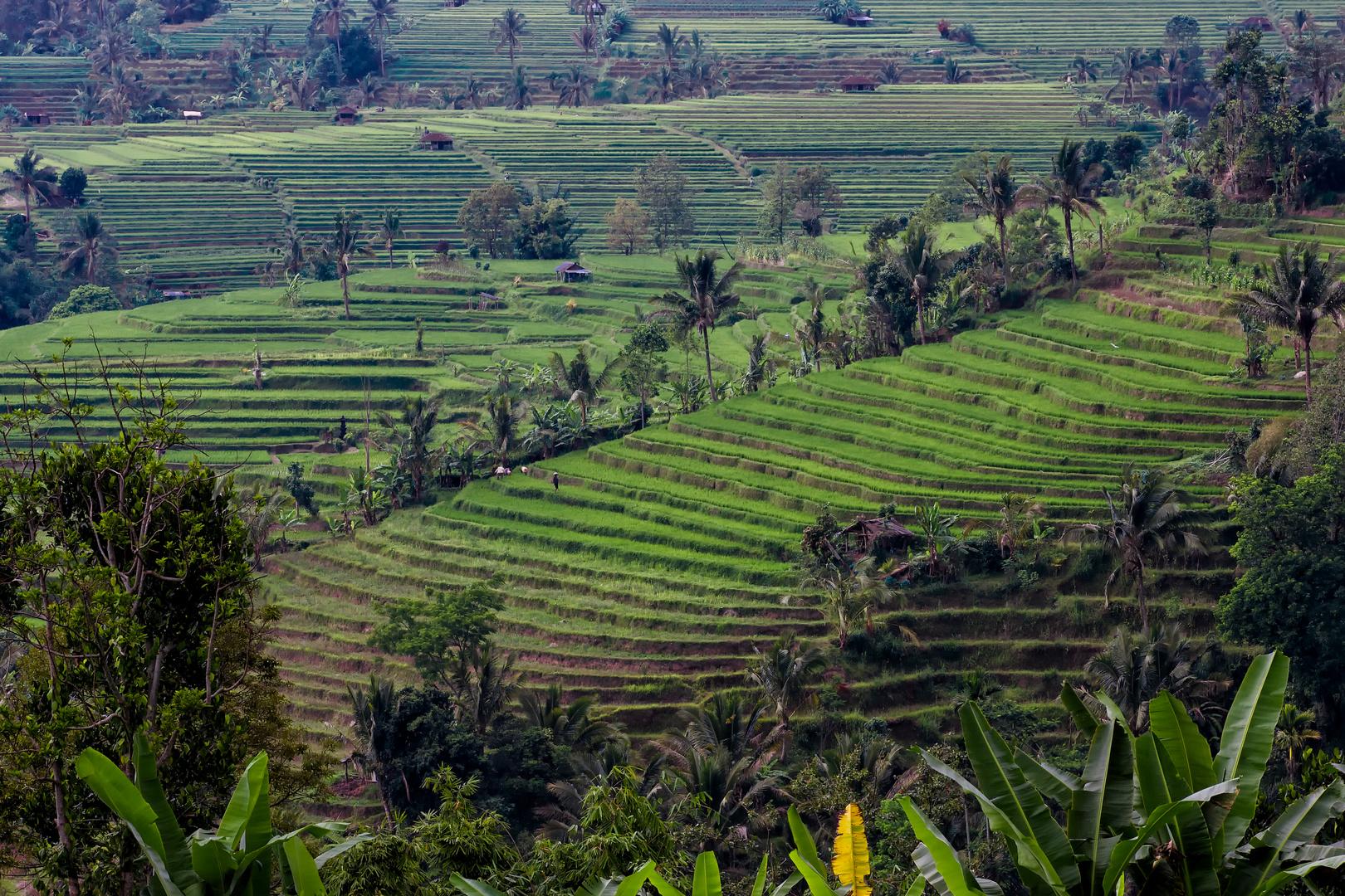 Reisterrassen von Bali, Indonesien