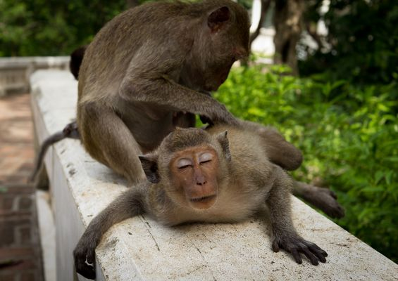 Relaxing in Monkey Style