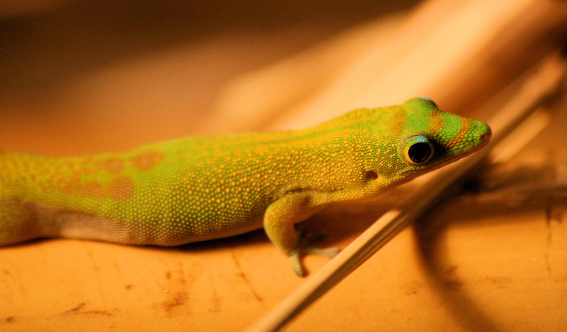 relaxt gekko