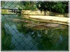 relaxte Nilpferde