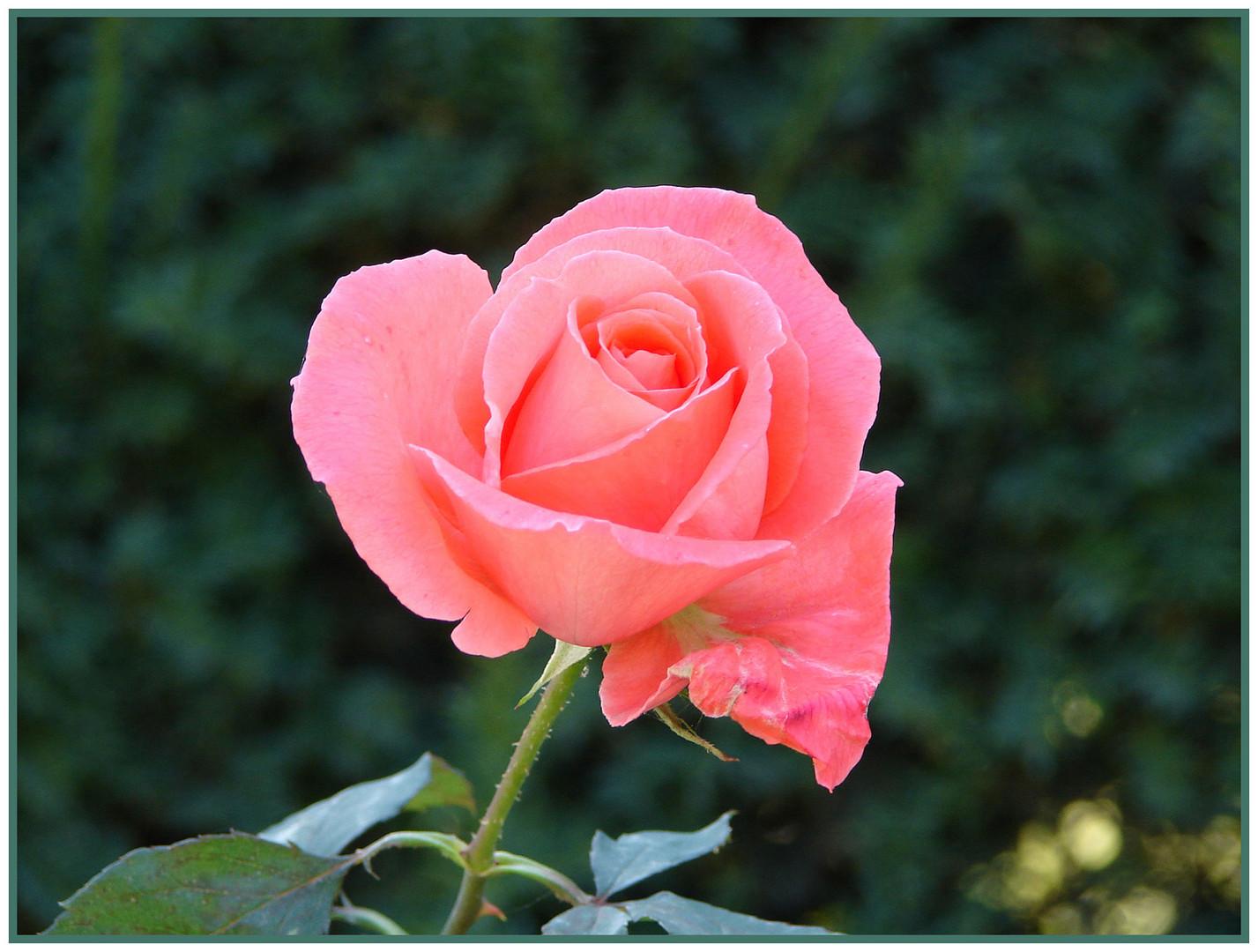 reload - meine ansicht eine rose zu präsentieren